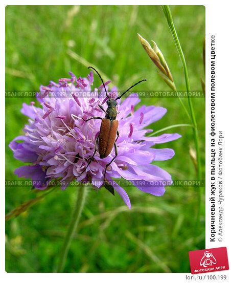 Коричневый жук в пыльце на фиолетовом полевом цветке, фото № 100199, снято 10 июля 2005 г. (c) Александр Чураков / Фотобанк Лори