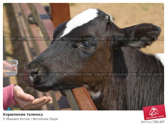 Купить «Кормление теленка», фото № 296447, снято 13 мая 2008 г. (c) Михаил Котов / Фотобанк Лори