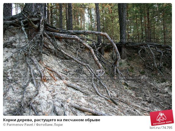 Корни дерева, растущего на песчаном обрыве, фото № 74795, снято 18 августа 2007 г. (c) Parmenov Pavel / Фотобанк Лори