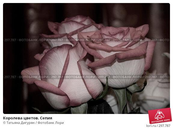 Королева цветов. Сепия, фото № 297787, снято 24 мая 2008 г. (c) Татьяна Дигурян / Фотобанк Лори