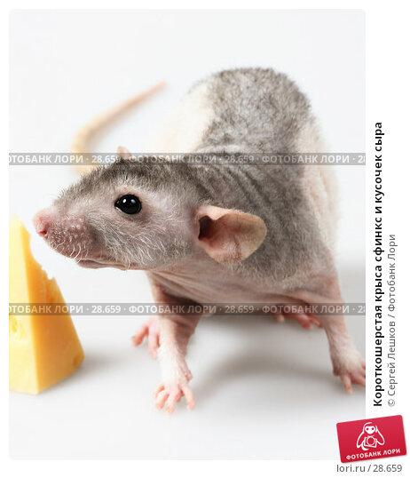 Короткошерстая крыса сфинкс и кусочек сыра, фото № 28659, снято 18 марта 2007 г. (c) Сергей Лешков / Фотобанк Лори