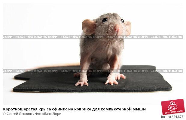 Короткошерстая крыса сфинкс на коврике для компьютерной мыши, фото № 24875, снято 18 марта 2007 г. (c) Сергей Лешков / Фотобанк Лори
