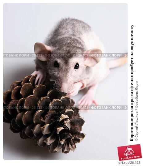 Короткошерстая крыса сфинкс пробует на вкус шишку, фото № 26123, снято 18 марта 2007 г. (c) Сергей Лешков / Фотобанк Лори