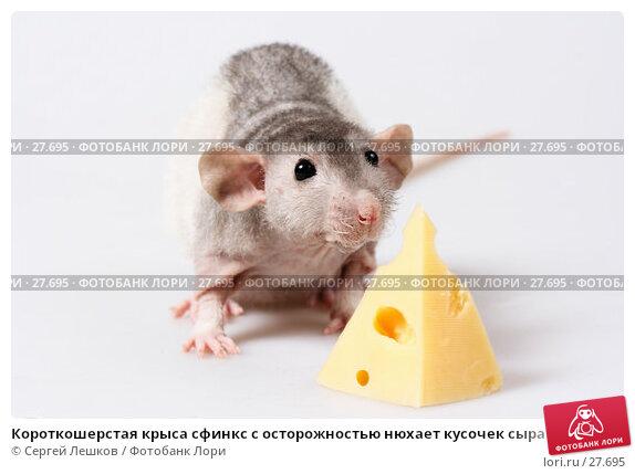 Купить «Короткошерстая крыса сфинкс с осторожностью нюхает кусочек сыра», фото № 27695, снято 18 марта 2007 г. (c) Сергей Лешков / Фотобанк Лори