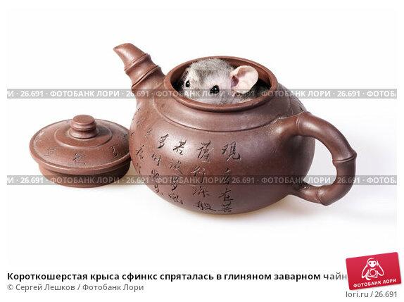 Короткошерстая крыса сфинкс спряталась в глиняном заварном чайнике с иероглифами на японский мотив, фото № 26691, снято 18 марта 2007 г. (c) Сергей Лешков / Фотобанк Лори
