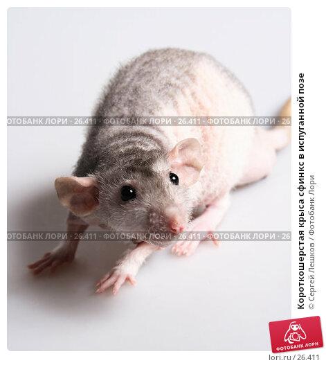 Купить «Короткошерстая крыса сфинкс в испуганной позе», фото № 26411, снято 18 марта 2007 г. (c) Сергей Лешков / Фотобанк Лори