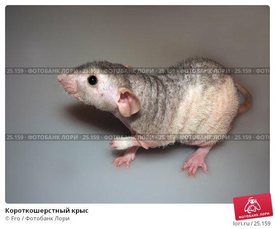 Короткошерстный крыс, фото № 25159, снято 18 марта 2007 г. (c) Fro / Фотобанк Лори