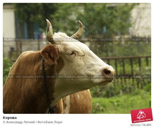 Купить «Корова», фото № 14491, снято 4 августа 2006 г. (c) Александр Легкий / Фотобанк Лори