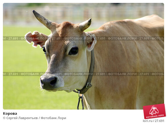 Корова, фото № 27691, снято 21 июня 2004 г. (c) Сергей Лаврентьев / Фотобанк Лори