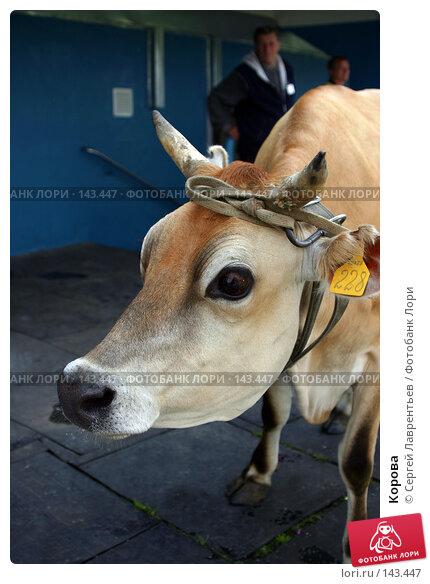 Корова, фото № 143447, снято 21 июня 2004 г. (c) Сергей Лаврентьев / Фотобанк Лори
