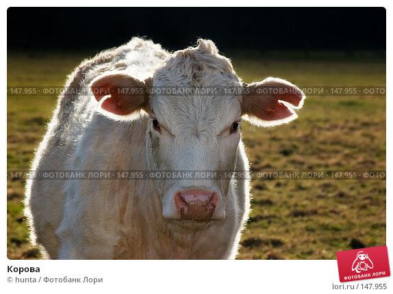 Купить «Корова», фото № 147955, снято 3 февраля 2005 г. (c) hunta / Фотобанк Лори