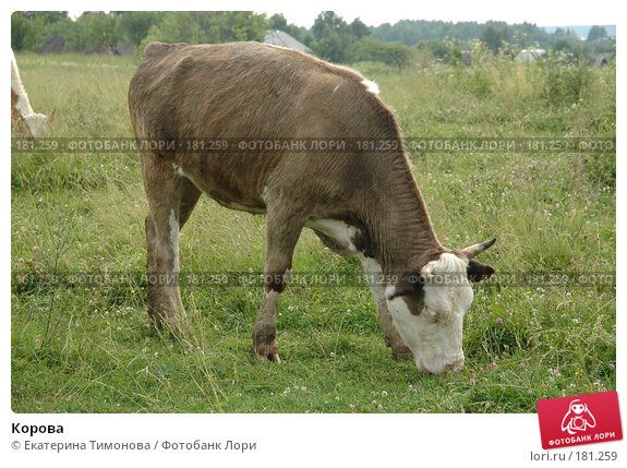 Купить «Корова», фото № 181259, снято 12 июля 2006 г. (c) Екатерина Тимонова / Фотобанк Лори