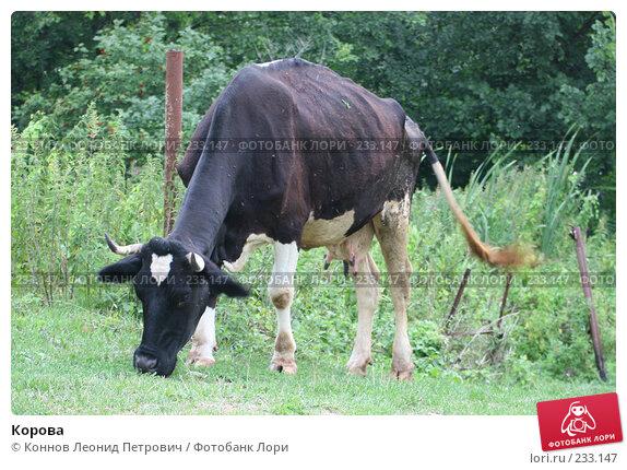 Корова, фото № 233147, снято 31 июля 2007 г. (c) Коннов Леонид Петрович / Фотобанк Лори