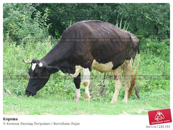 Корова, фото № 233151, снято 31 июля 2007 г. (c) Коннов Леонид Петрович / Фотобанк Лори