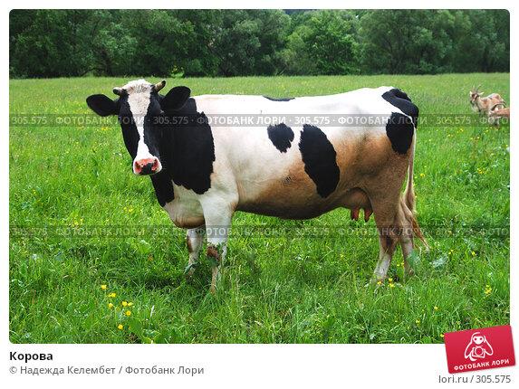 Корова, фото № 305575, снято 31 мая 2008 г. (c) Надежда Келембет / Фотобанк Лори