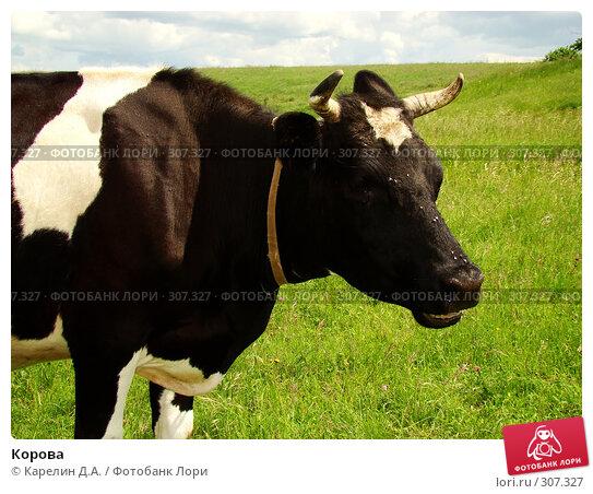 Корова, фото № 307327, снято 31 мая 2008 г. (c) Карелин Д.А. / Фотобанк Лори
