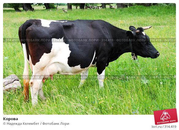 Корова, фото № 314419, снято 31 мая 2008 г. (c) Надежда Келембет / Фотобанк Лори