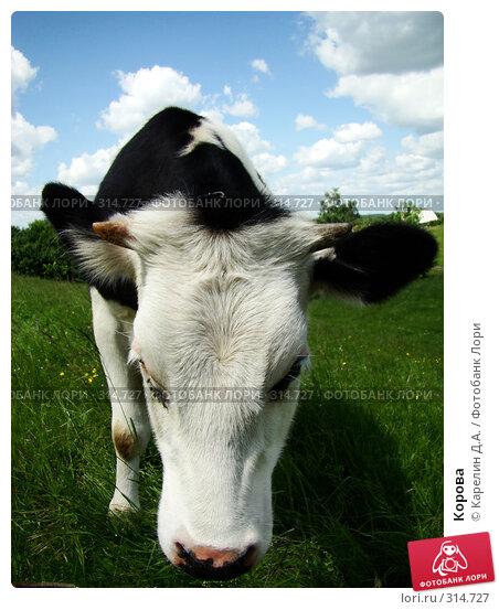 Корова, фото № 314727, снято 31 мая 2008 г. (c) Карелин Д.А. / Фотобанк Лори
