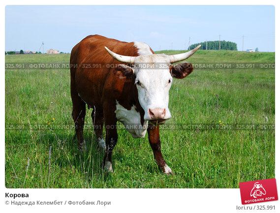 Корова, фото № 325991, снято 12 июня 2008 г. (c) Надежда Келембет / Фотобанк Лори