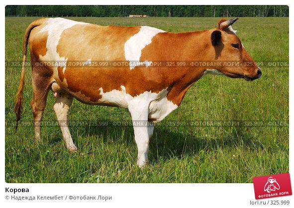 Купить «Корова», фото № 325999, снято 12 июня 2008 г. (c) Надежда Келембет / Фотобанк Лори