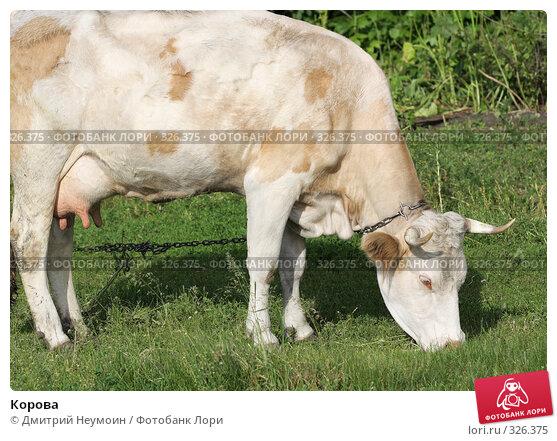 Корова, эксклюзивное фото № 326375, снято 12 июня 2008 г. (c) Дмитрий Неумоин / Фотобанк Лори