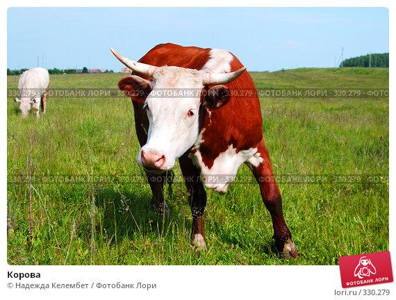 Купить «Корова», фото № 330279, снято 12 июня 2008 г. (c) Надежда Келембет / Фотобанк Лори