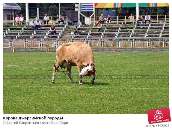 Корова джерсийской породы, фото № 302927, снято 21 июня 2004 г. (c) Сергей Лаврентьев / Фотобанк Лори