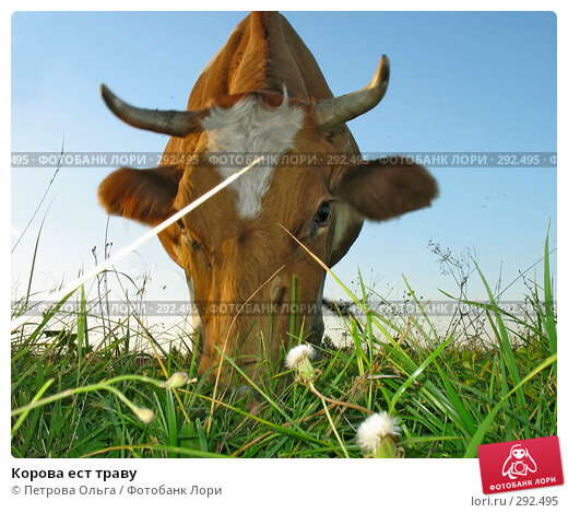Купить «Корова ест траву», фото № 292495, снято 12 августа 2007 г. (c) Петрова Ольга / Фотобанк Лори