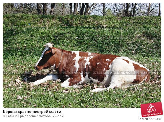 Купить «Корова красно-пестрой масти», фото № 275331, снято 3 мая 2008 г. (c) Галина Ермолаева / Фотобанк Лори