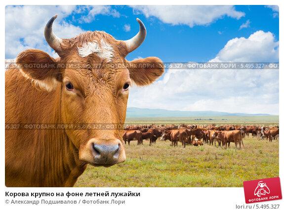 Купить «Корова крупно на фоне летней лужайки», фото № 5495327, снято 22 июля 2009 г. (c) Александр Подшивалов / Фотобанк Лори