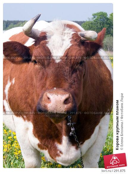 Корова крупным планом, фото № 291875, снято 19 мая 2008 г. (c) Елена Блохина / Фотобанк Лори