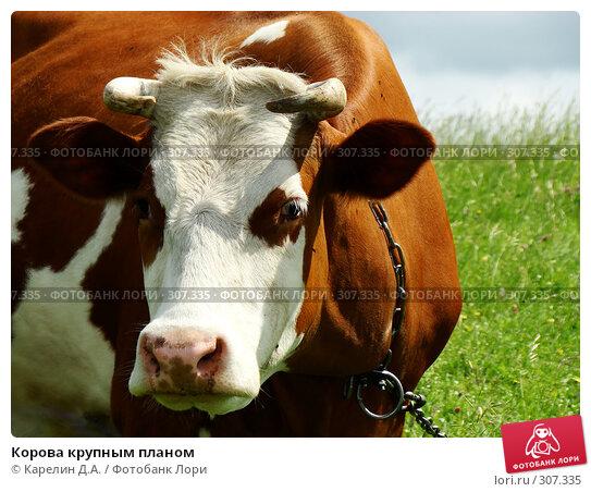 Купить «Корова крупным планом», фото № 307335, снято 31 мая 2008 г. (c) Карелин Д.А. / Фотобанк Лори