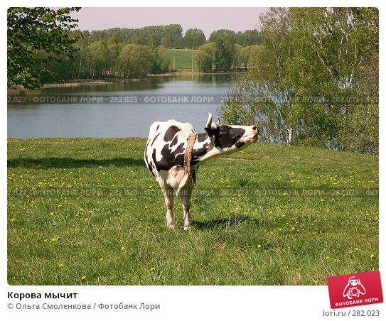 Корова мычит, фото № 282023, снято 12 мая 2008 г. (c) Ольга Смоленкова / Фотобанк Лори
