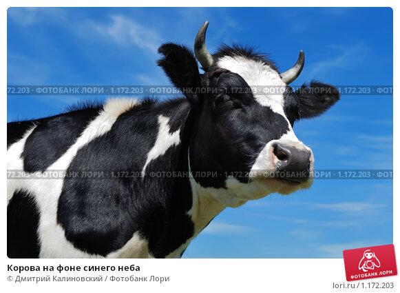 Купить «Корова на фоне синего неба», фото № 1172203, снято 1 июля 2009 г. (c) Дмитрий Калиновский / Фотобанк Лори
