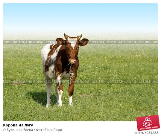 Купить «Корова на лугу», фото № 233383, снято 19 мая 2007 г. (c) Бутинова Елена / Фотобанк Лори