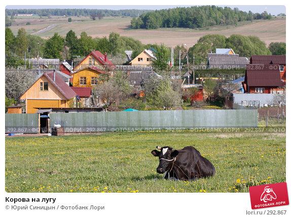 Корова на лугу, фото № 292867, снято 18 мая 2008 г. (c) Юрий Синицын / Фотобанк Лори