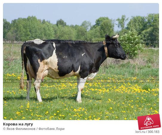 Корова на лугу, фото № 300183, снято 18 мая 2008 г. (c) Яков Филимонов / Фотобанк Лори