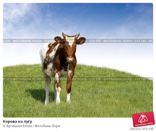 Корова на лугу, фото № 313135, снято 19 мая 2007 г. (c) Бутинова Елена / Фотобанк Лори
