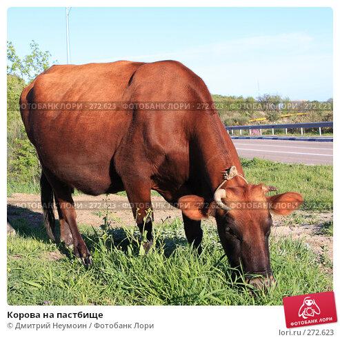 Корова на пастбище, эксклюзивное фото № 272623, снято 23 апреля 2008 г. (c) Дмитрий Неумоин / Фотобанк Лори