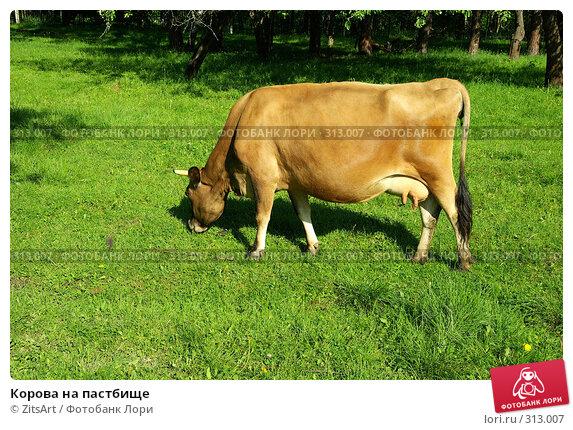 Корова на пастбище, фото № 313007, снято 6 июня 2008 г. (c) ZitsArt / Фотобанк Лори