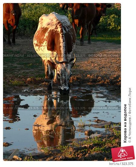 Корова на водопое, фото № 323375, снято 20 августа 2005 г. (c) A Челмодеев / Фотобанк Лори