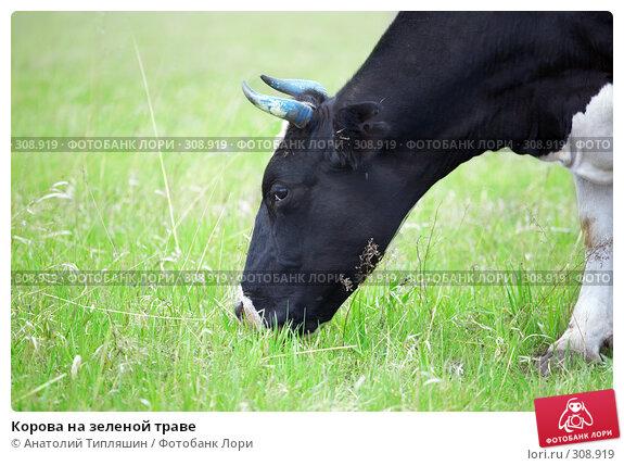 Корова на зеленой траве, фото № 308919, снято 26 мая 2008 г. (c) Анатолий Типляшин / Фотобанк Лори
