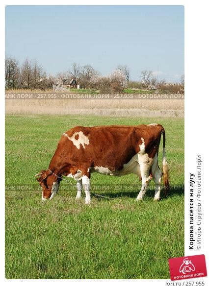 Корова пасется на лугу, фото № 257955, снято 12 апреля 2008 г. (c) Игорь Струков / Фотобанк Лори