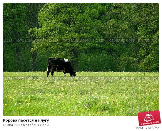 Корова пасется на лугу, эксклюзивное фото № 312755, снято 18 мая 2008 г. (c) lana1501 / Фотобанк Лори