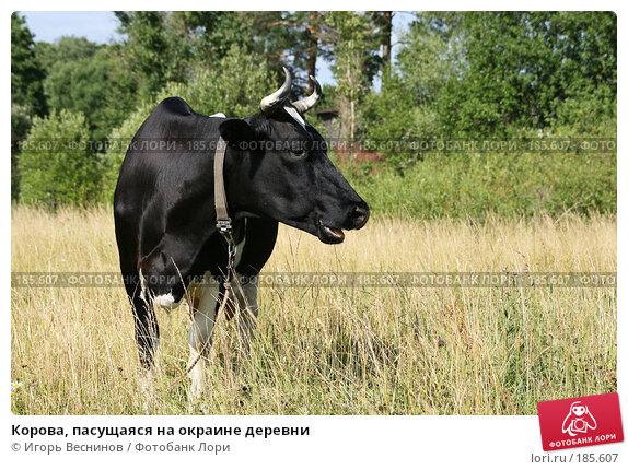 Корова, пасущаяся на окраине деревни, фото № 185607, снято 14 июля 2007 г. (c) Игорь Веснинов / Фотобанк Лори