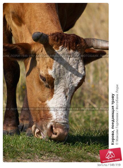 Корова, поедающая траву, фото № 149119, снято 18 сентября 2006 г. (c) Максим Горпенюк / Фотобанк Лори