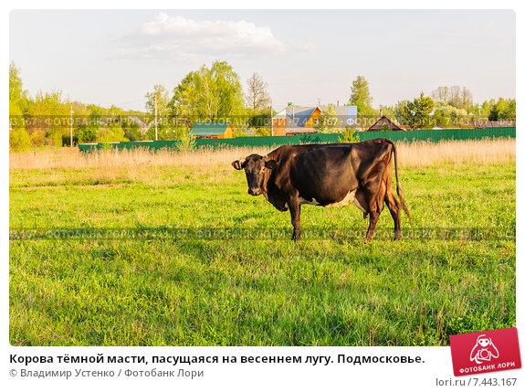 Купить «Корова тёмной масти, пасущаяся на весеннем лугу. Подмосковье.», фото № 7443167, снято 12 мая 2015 г. (c) Устенко Владимир Александрович / Фотобанк Лори