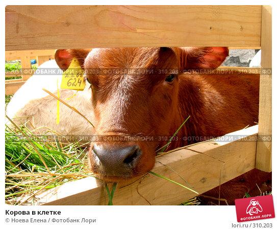 Корова в клетке, фото № 310203, снято 31 мая 2008 г. (c) Ноева Елена / Фотобанк Лори