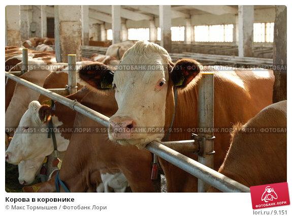 Корова в коровнике. Стоковое фото, фотограф Макс Тормышев / Фотобанк Лори
