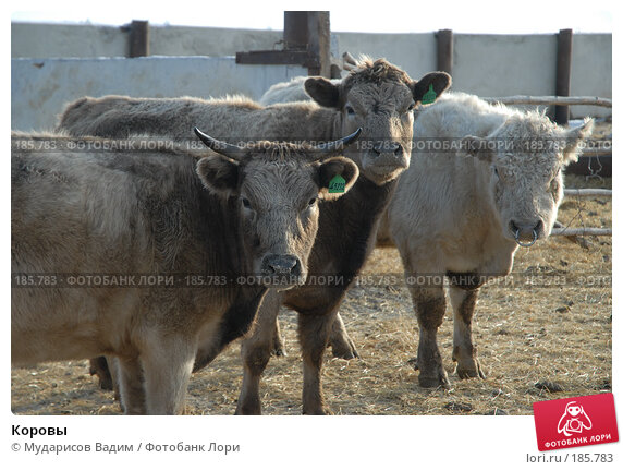 Коровы, фото № 185783, снято 24 января 2008 г. (c) Мударисов Вадим / Фотобанк Лори